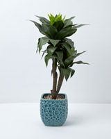 green Carolyn Donnelly Eclectic Dracaena Plant In Pot