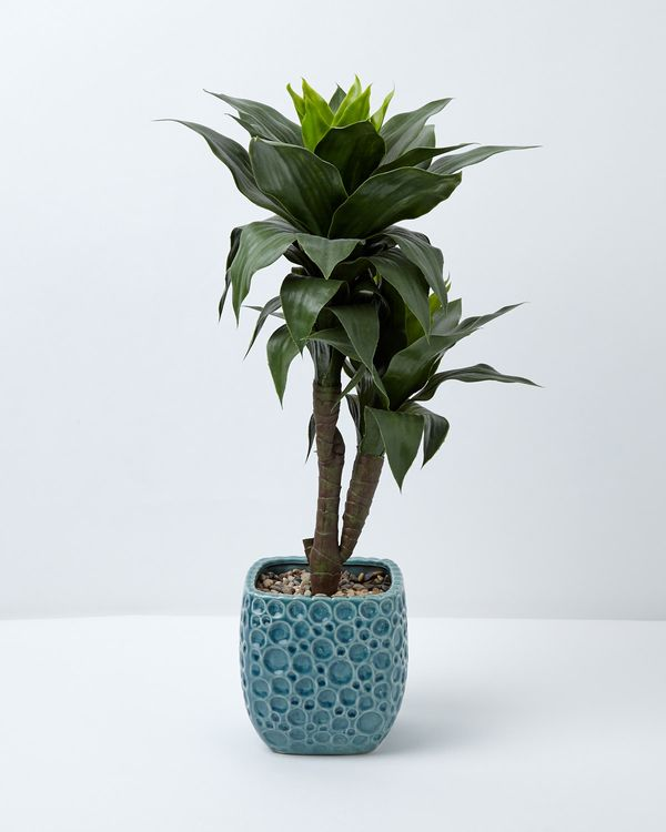 Carolyn Donnelly Eclectic Dracaena Plant In Pot