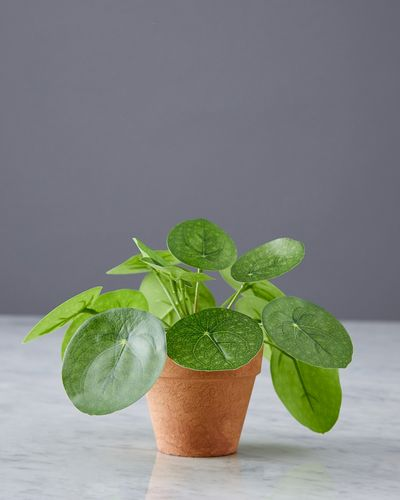 Helen James Considered Pilea Plant