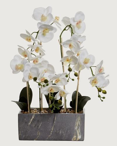 Marble Square Orchid